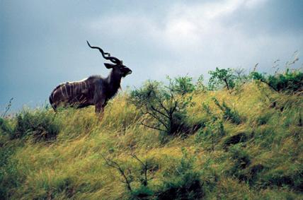 Kudu Before the  Storm
