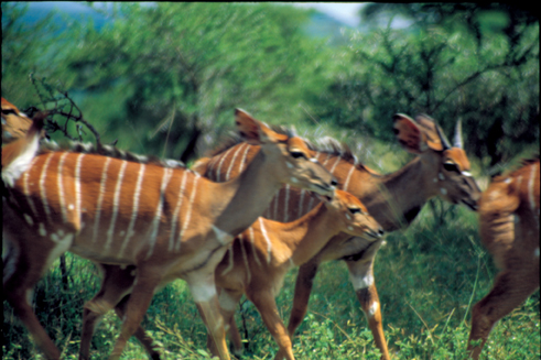 Nyalas on the Move