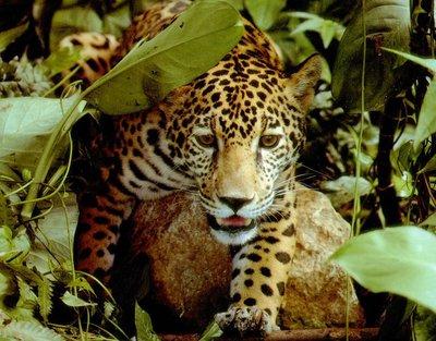 Xixuau jaguar