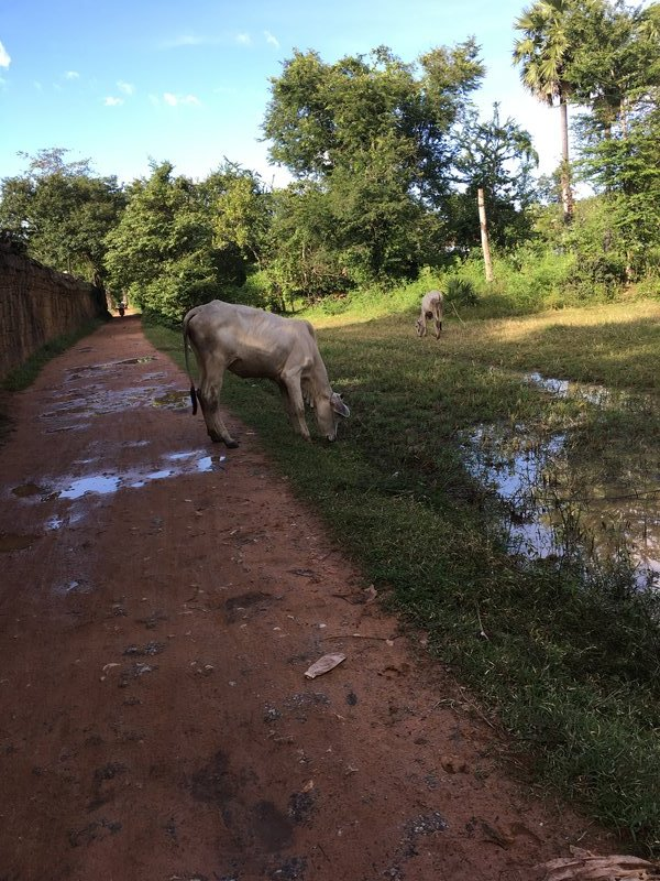 large_90_cows.jpg