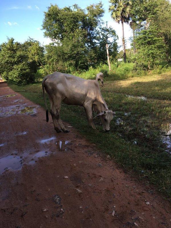 large_90_cows2.jpg
