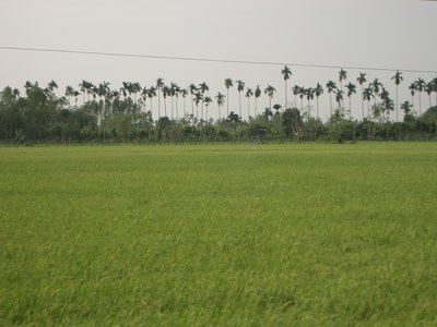 Across the padi fields