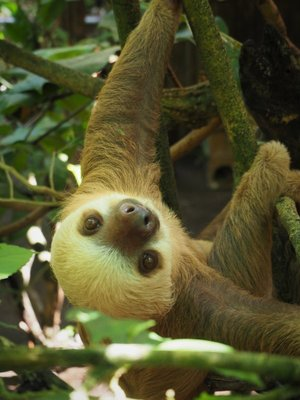 Young three-toed sloth