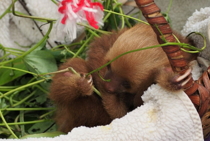 Baby sloth in a basket