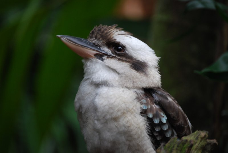 Kookaborough
