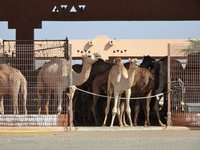 Camels_in_a_pen.jpg