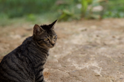 Cat at the Orang Asli Village