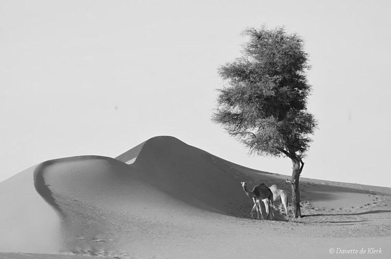 Dessert camels