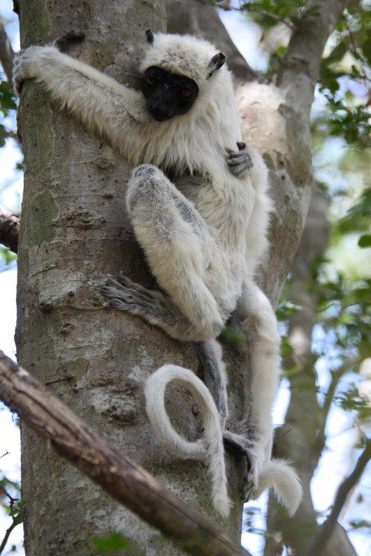 Decken's Sifaka Lemur