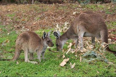 Kangaroos at Yanchep National Park by aussirose - Yanchep