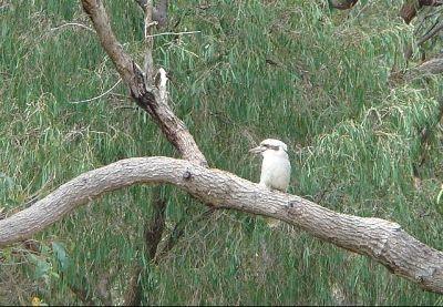 Kookaburra - Margaret River