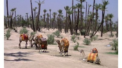 569554166027688-First_camel_.._Marrakesh.jpg