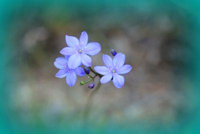 Lesueur National Park WA Wildflowers - Blue Leschenaultia