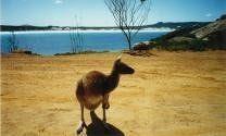Kangaroo in the wild Australia - Esperance