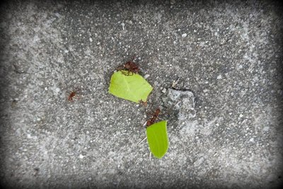 Leaf_Cutter_Ant_2.jpg