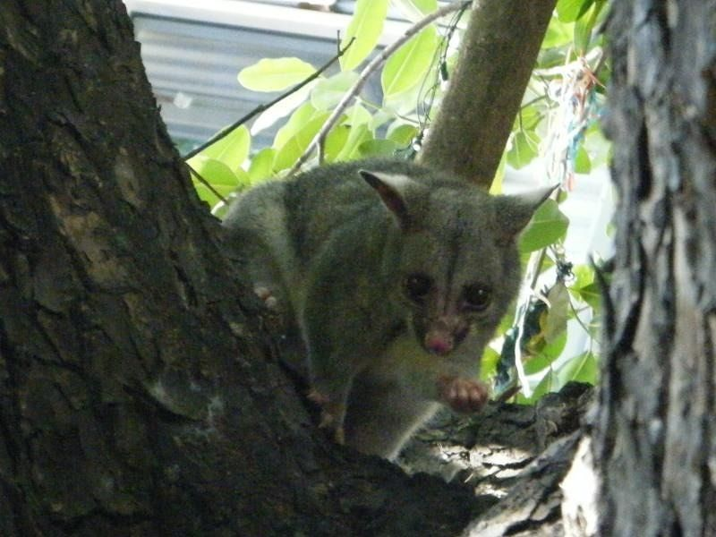 Possum at Wisdom Bar and Grill - Darwin