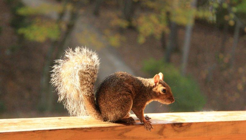 Asheville - Squirrel