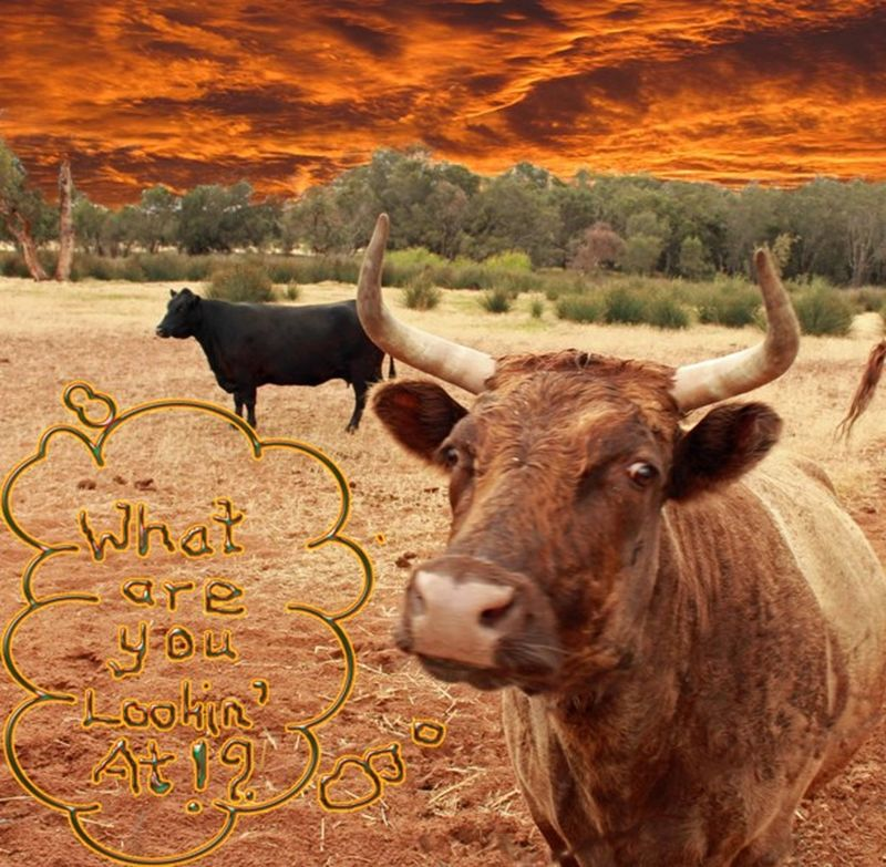 Toodyay Boshack cow photoshopped by aussirose - Toodyay