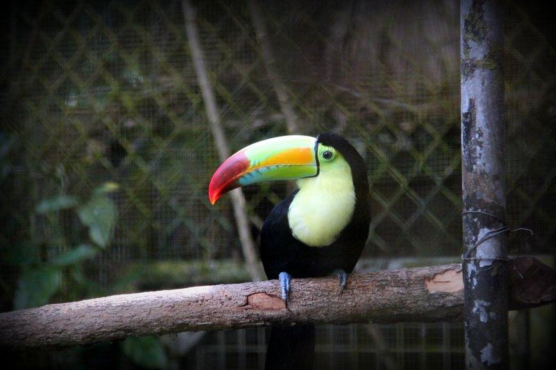 216 Belize - Toucan