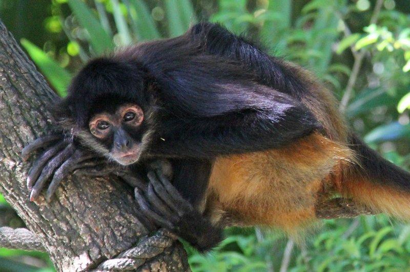 217 Belize - Spider Monkey 1