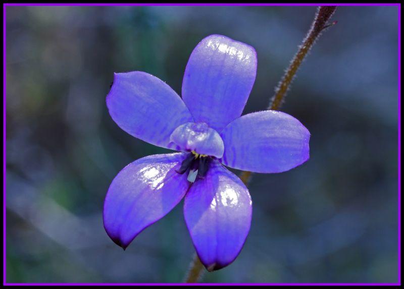 Purple Enamel Orchid wildflower Toodyay, aussirose - Toodyay