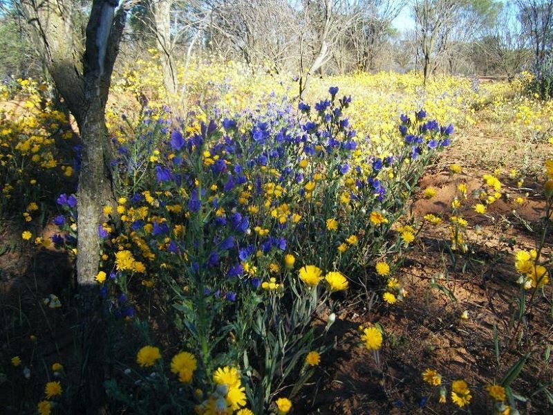 Coalseam National Park wildflowers - Mingenew