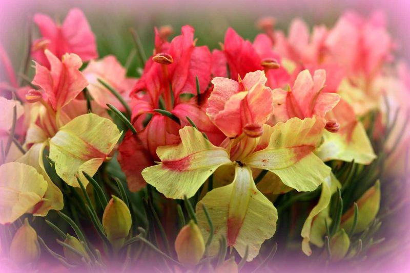 WA Wreath Wildflower close up be aussirose - Perenjori