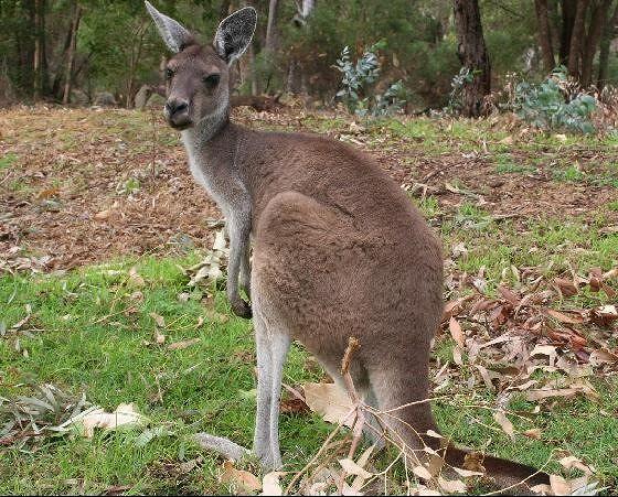 Kangaroo at Yanchep National Park by aussirose - Yanchep