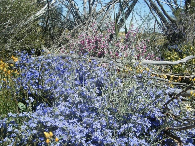 Perenjori wildflowers - Perenjori