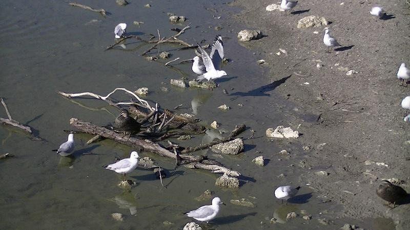 Birds Neil Hawkins Park Joondalup Lake