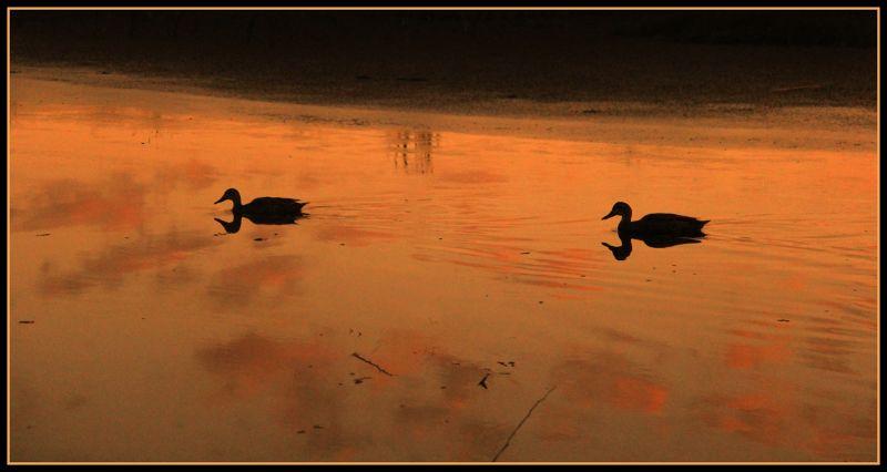 Duck reflections Yanchep NP by aussirose - Yanchep