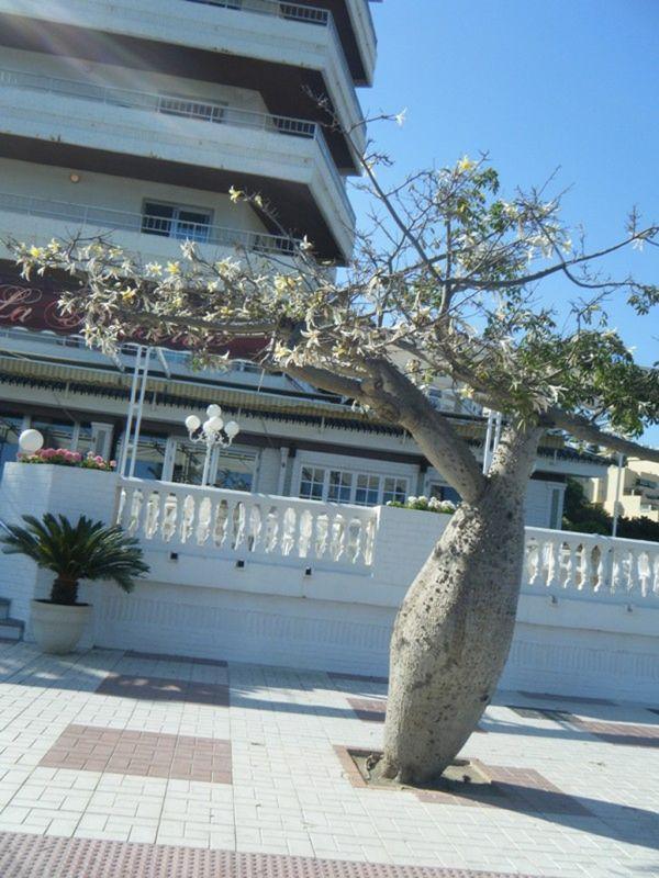 Boab tree Torremolinos Spain - Torremolinos