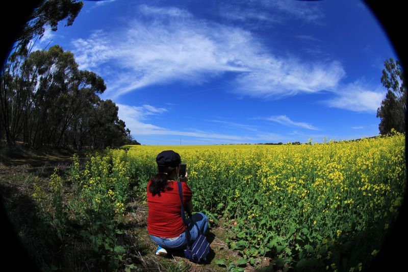 Canola Fields of Gold Toodyay by aussirose - Toodyay