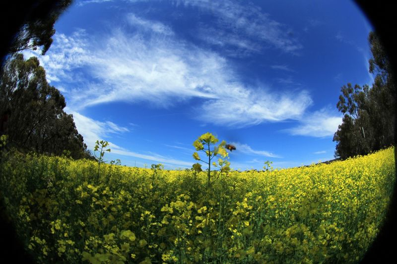 Canola Fields of Gold by aussirose - Toodyay