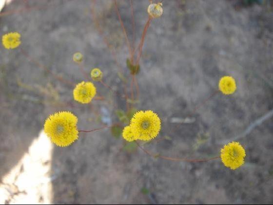 Australian Wildflowers prickly moses - Mingenew