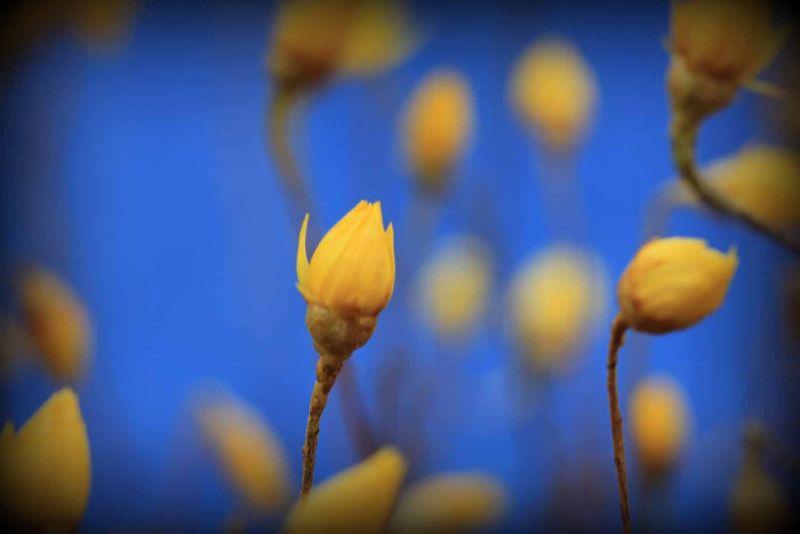 Yellow Everlastings WA by aussirose - Coalseam National Park Mingenew