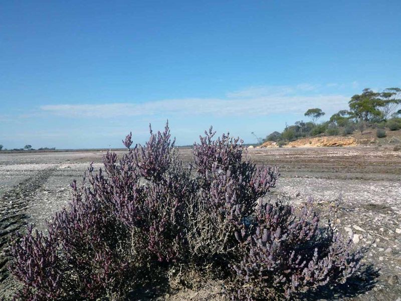 Salt Bush - Yellowdine Lake WA - Yellowdine