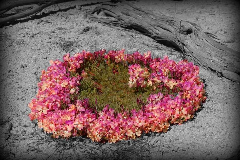 Wreath Wildflower WA by aussirose - Perenjori