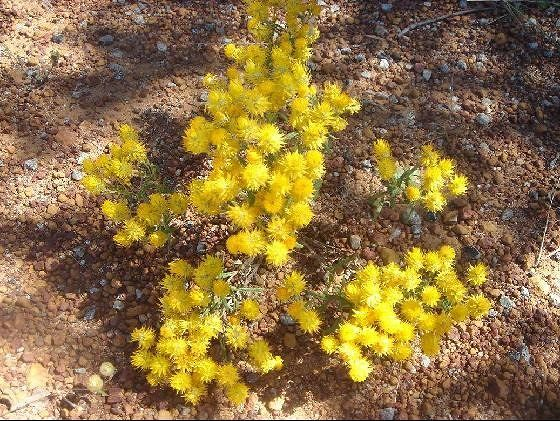 Australian Wildflowers everlastings - Mingenew