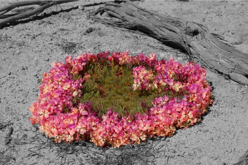 Wreath Flower Perenjori Western Australia