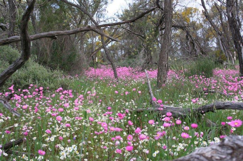 Wildflowers - Pink Everlastings