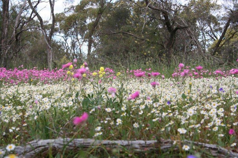 Wildflowers - PinkNWhite Everlastings