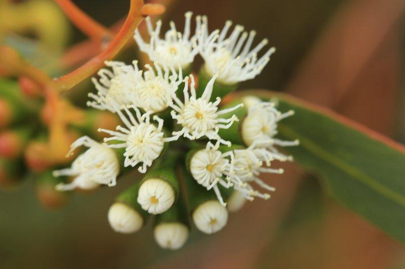 Lesueur National Park - White Flowering Gum