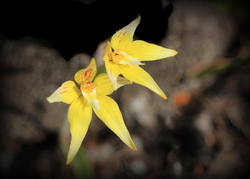 Lesueur National Park - Cowslip Orchid