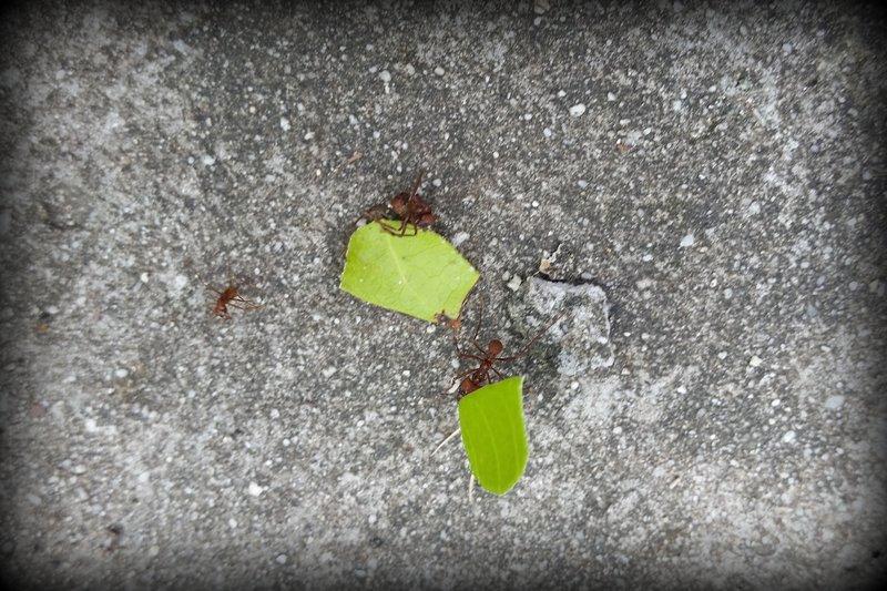 Leaf Cutter Ant 2