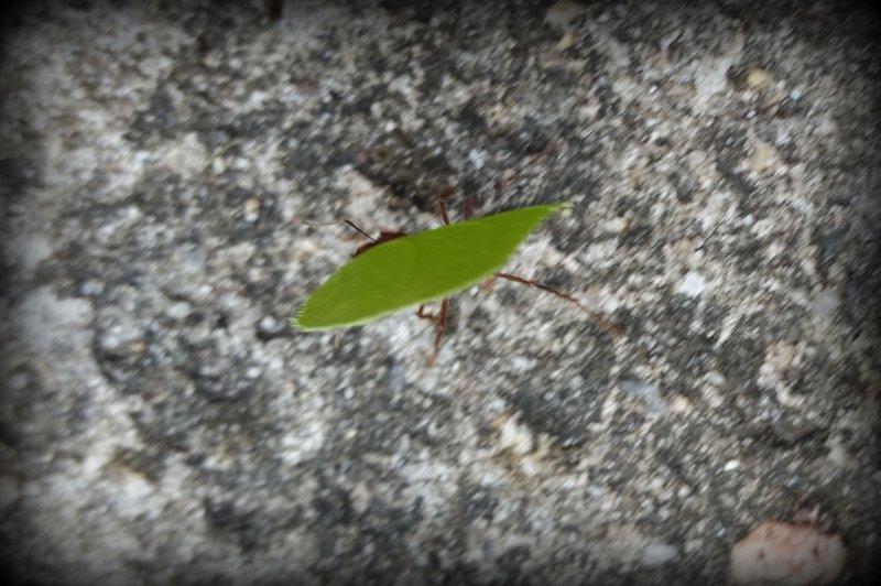 Leaf Cutter Ant 3