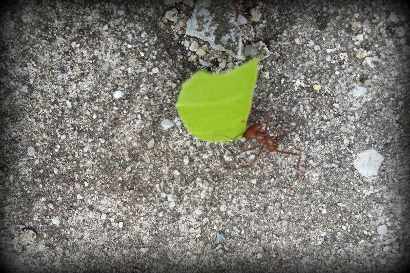 Leaf Cutter Ant 4