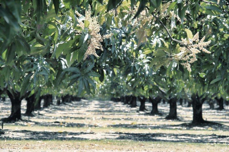 Mango Trees 2