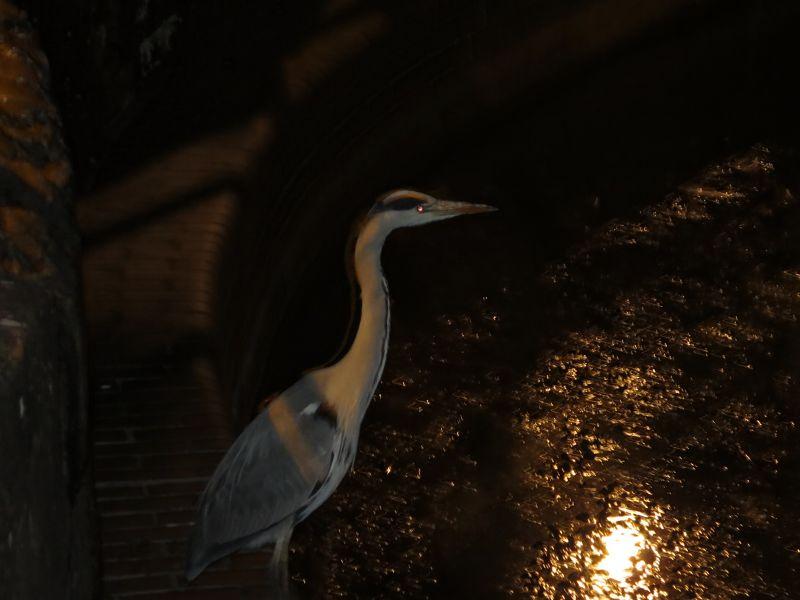 Mr Burns the Heron at Hermitage Dock