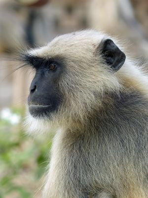 12580207551644-The_monkeys_..ittaurgarh.jpg